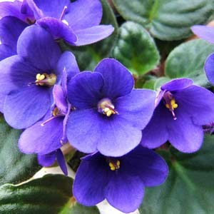 cheerful violets