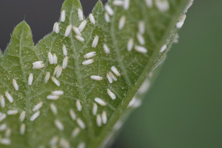 whiteflies-eggs-control-identify.jpg