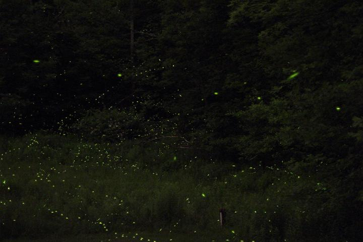 why-do-fireflies-glow.jpg