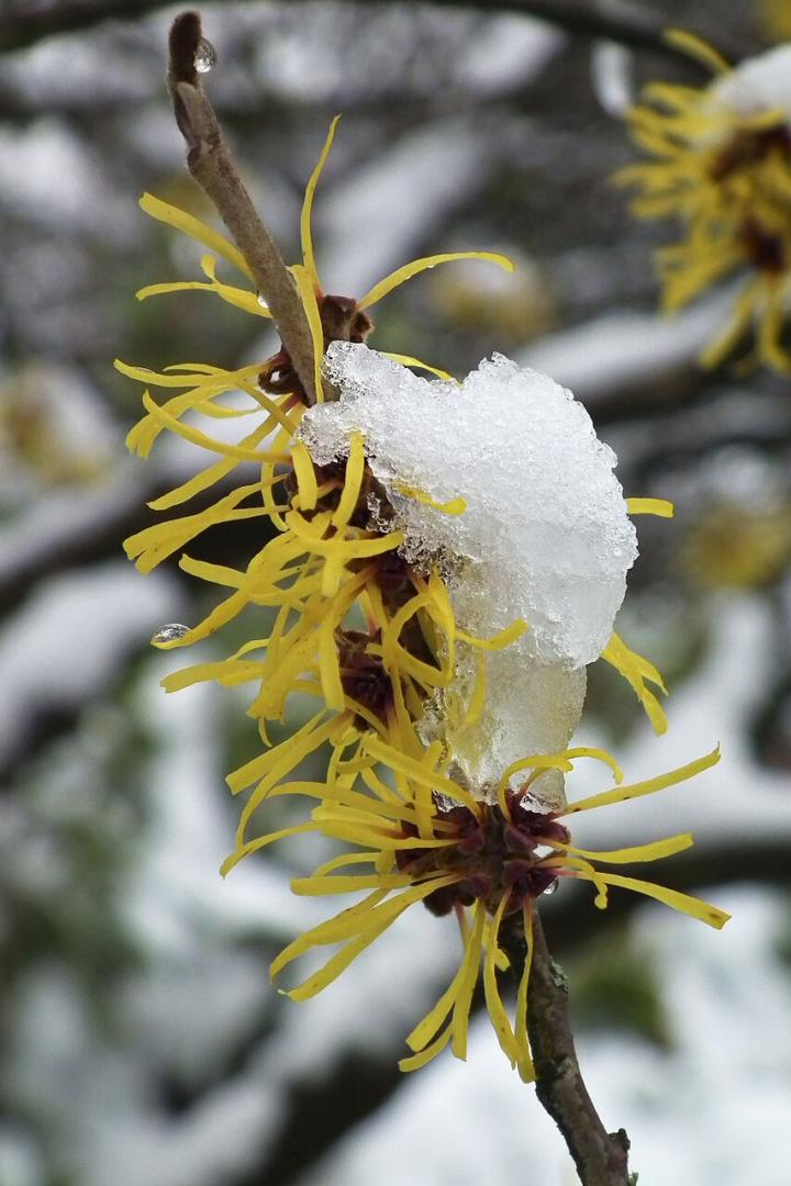 witch-hazel-shrub.jpg