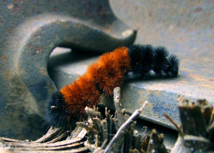 Woolly Bear Caterpillar. Photo by SillyPuttyEnemies/Wikimedia Commons.