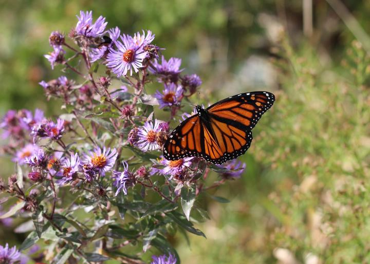 Aster monarch butterfly