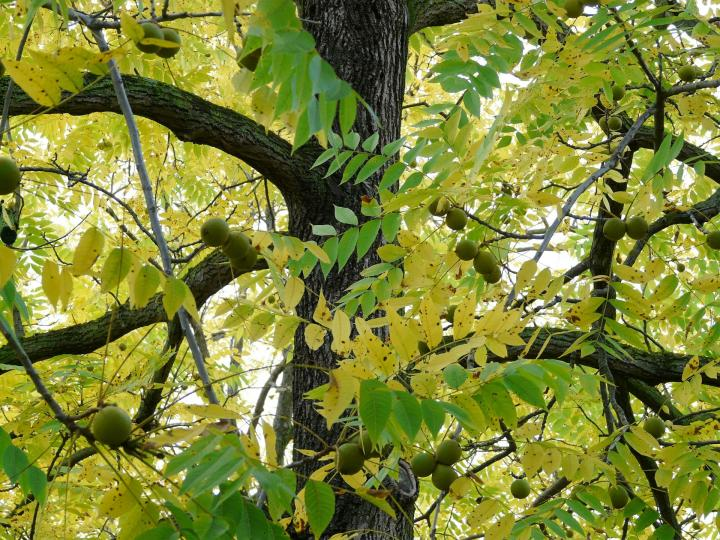 Black Walnut Trees Facts And Features The Old Farmer S