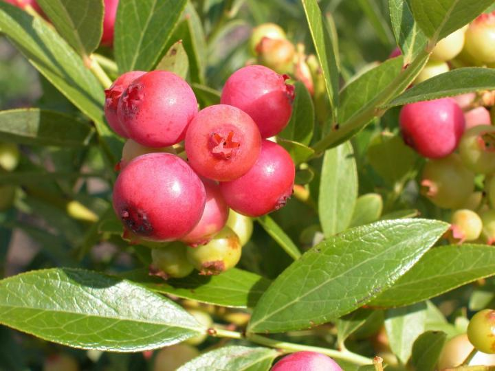 'Pink Lemonade' Blueberries
