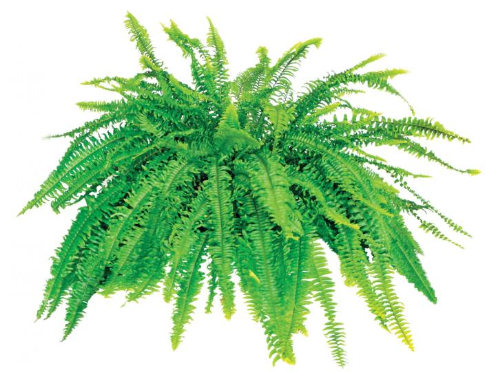 Boston fern. Photo by sdbower/Getty Images.