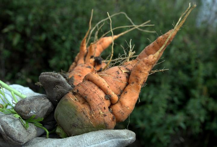 Carrots Planting Growing And Harvesting The Old