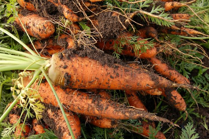 Carrots Planting Growing And Harvesting Carrots The Old
