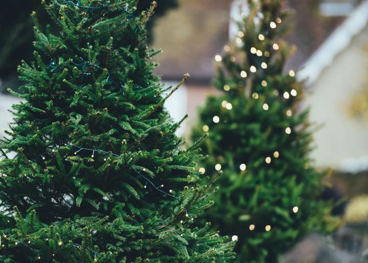 How To Take Care Of A Real Christmas Tree.How To Care For A Christmas Tree Care Tips The Old