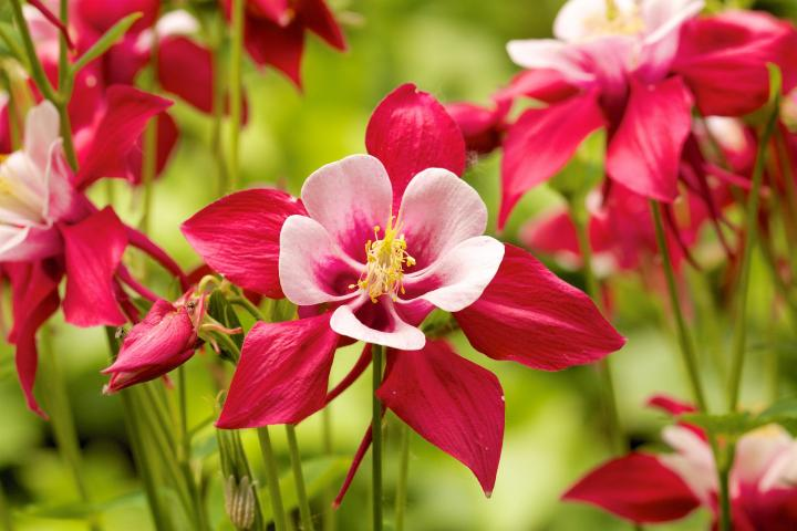 Columbine How To Plant Grow And Care For Columbine The Old