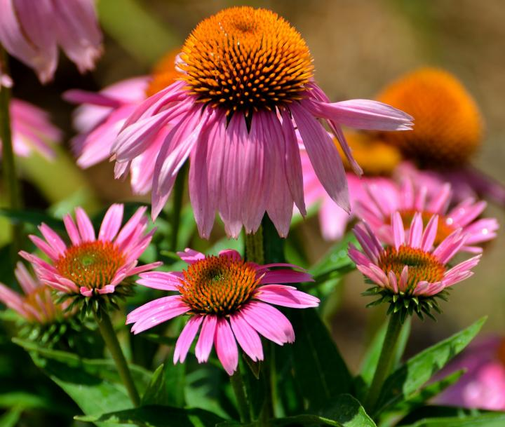 Perennial Flower Care: Planting, Watering, Dividing | The Old Farmer's  Almanac