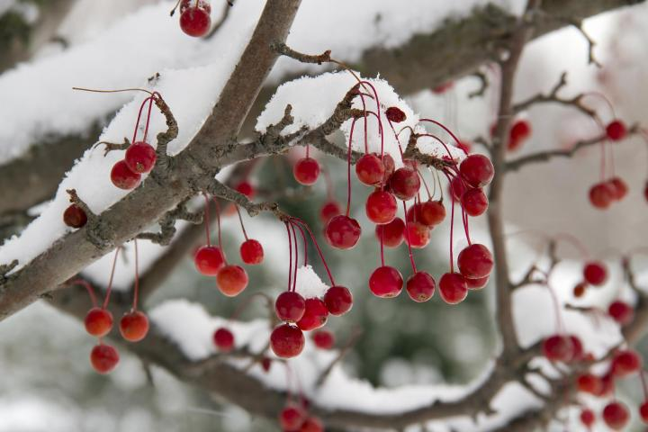 crabapples-winter-landscape.jpg