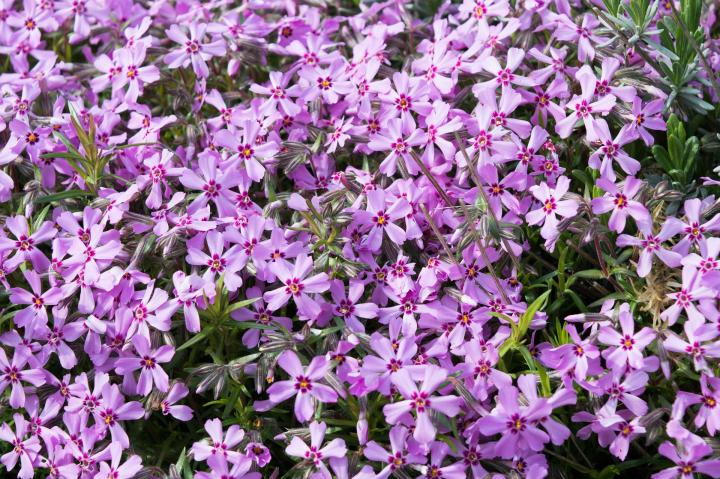 Creeping phlox (P. subulata) has needle-shaped leaves and produces a carpet of flowers.