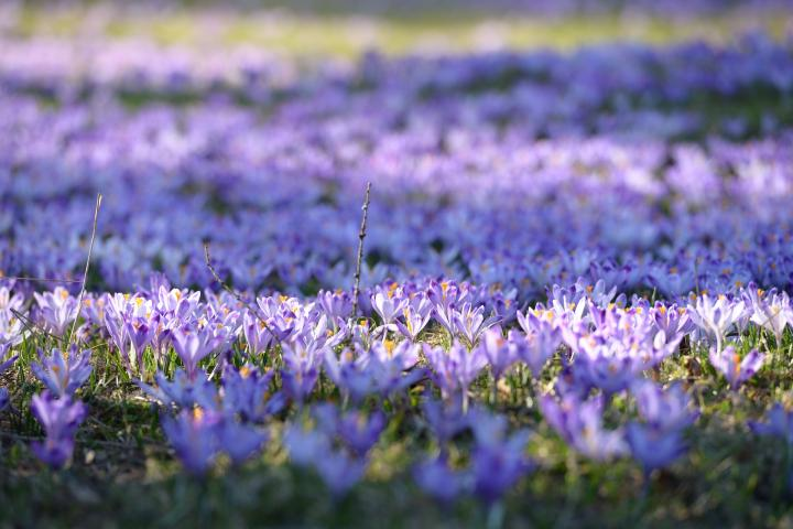 Crocus field in spring
