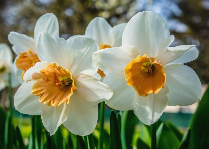 Daffodils with white and orange.