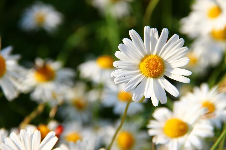 April birth flower, daisy