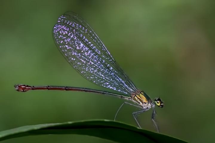 damselfly-facts-meaning.jpg
