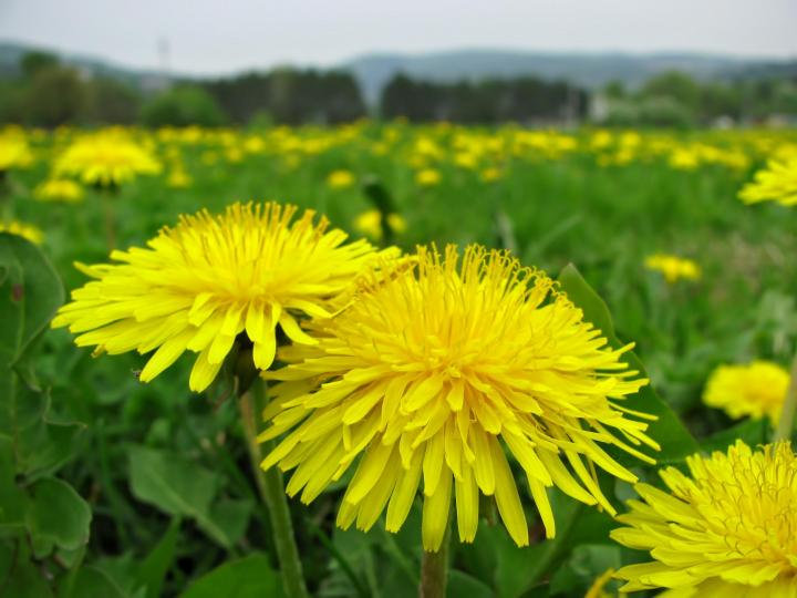 Dandelions For Food Drink And Medicine The Old Farmers Almanac