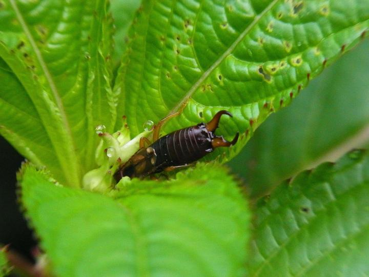 How to Prevent Earwigs