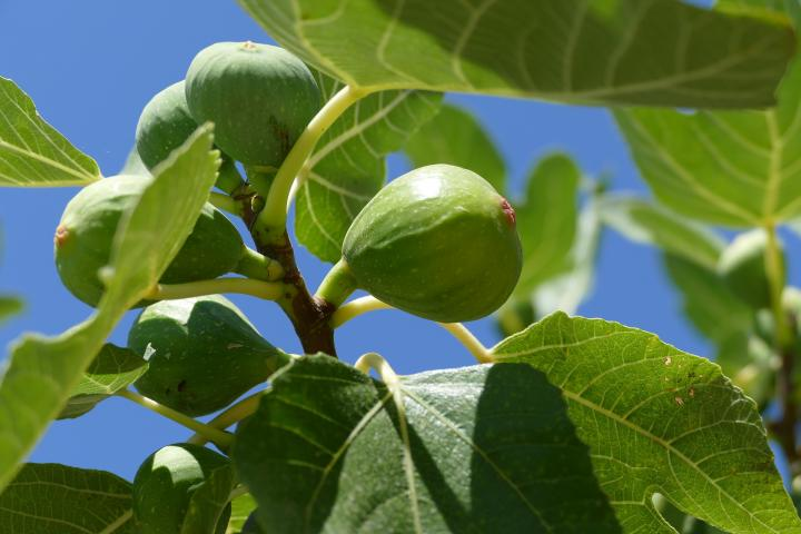 Fig Trees Planting Growing And Harvesting Figs The Old Farmer S Almanac