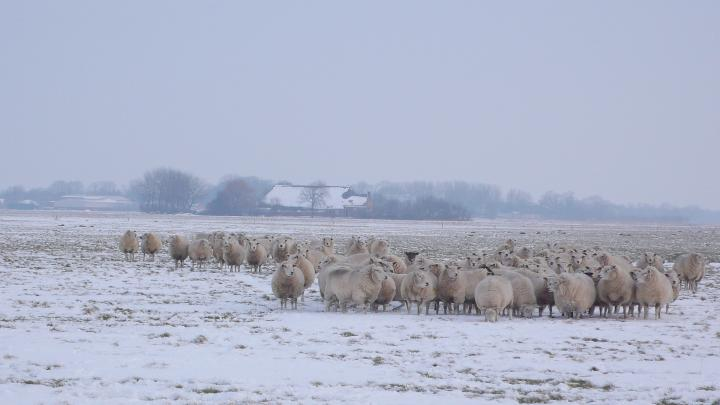 frozen-sheep-year-without-summer.jpg