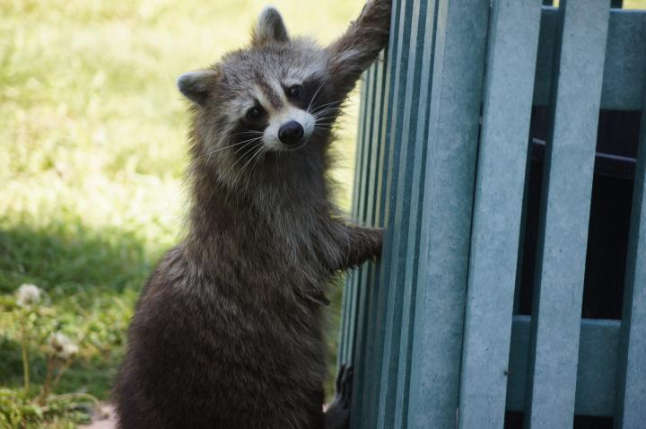 f17caf6b72 Raccoons: How to Identify and Get Rid of Raccoons in the Garden ...