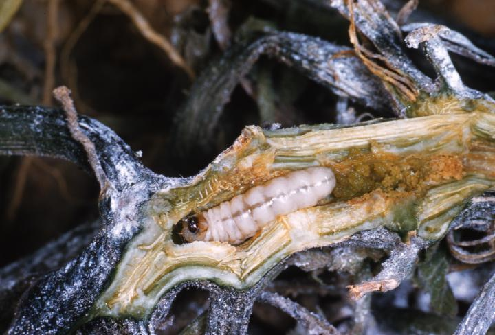 Image result for images of squash vine borer