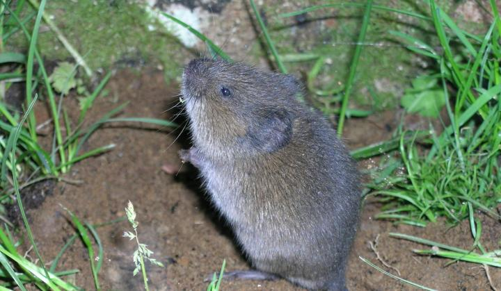 Voles How to Get Rid of Voles in the Yard or Garden