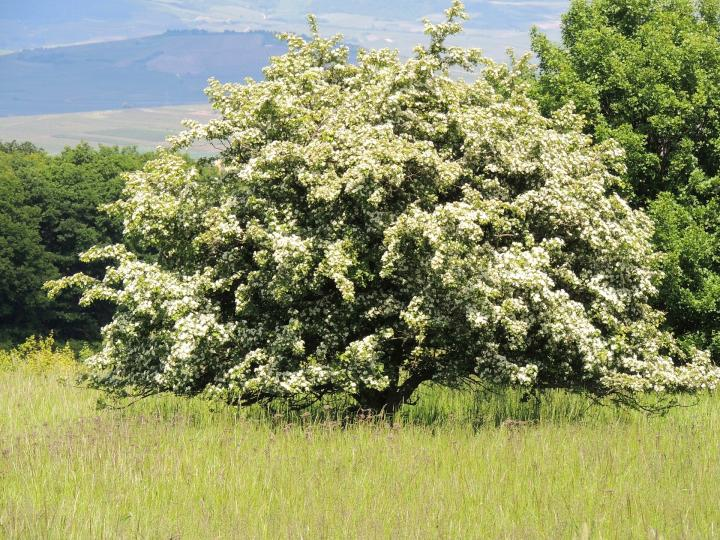 Hawthorn May Birth Flower 1920x1440px Pixabay Full Width Jpg See More Month