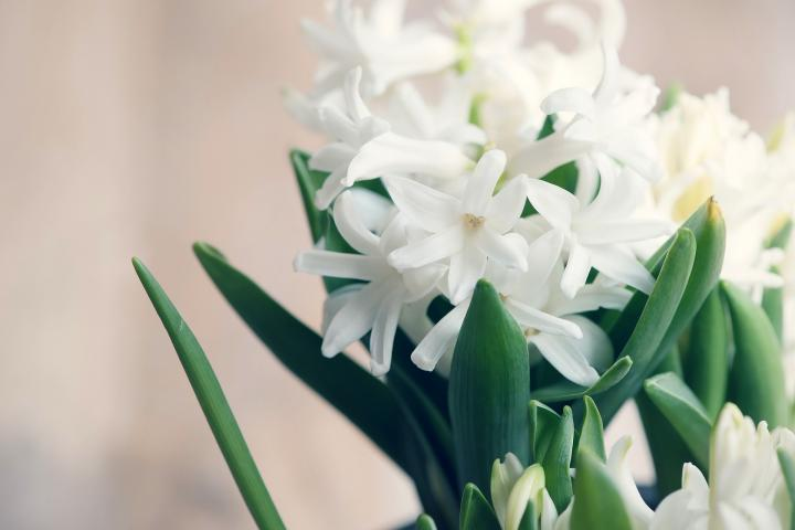 Hyacinths: Planting and Caring for Hyacinth and Muscari Bulbs | The
