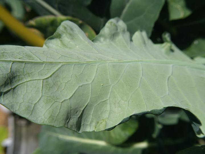 Cabbage Worms How To Identify And Get Rid Of Cabbageworms The