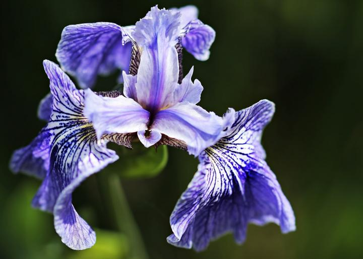 Striped iris flower