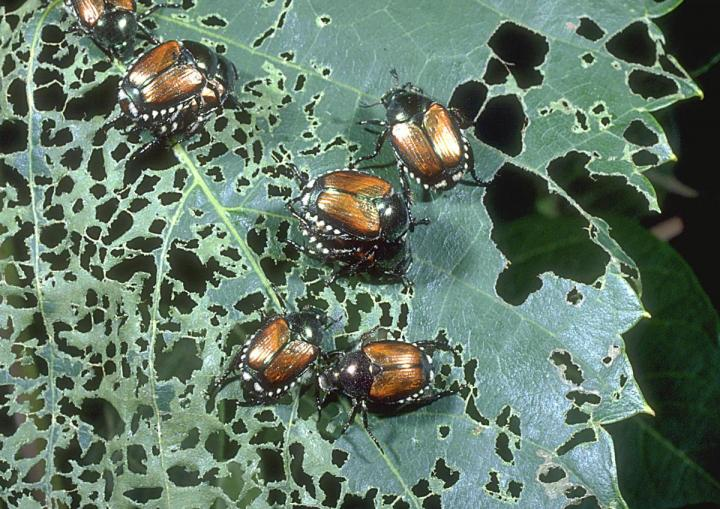 Japanese Beetles How To Get Rid Of Japanese Beetle Pests The Old