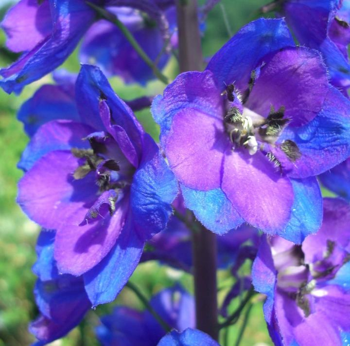 July birth flower, the larkspur