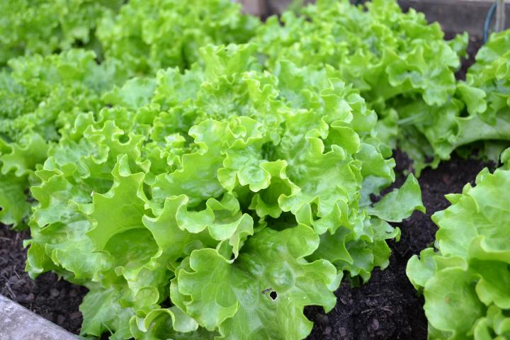 Lettuce is excellent for container gardening.
