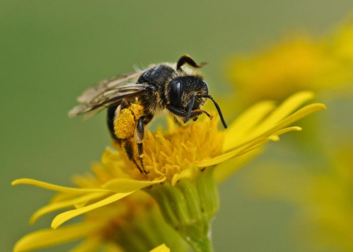 mason-bee-on-flower.jpg