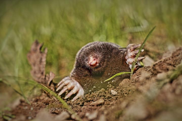 moles-in-yard-ground-moles.jpg