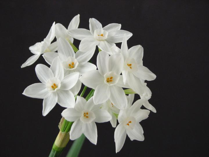 paperwhite_narcissus_december_birth_flower_2048x1536_credit_needed_wikimedia_full_width.jpg