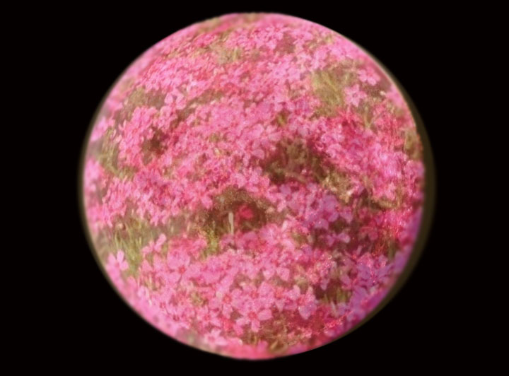 A Creative Image Of The Moon With Pink Phlox Covering Round Orb What Do You Think