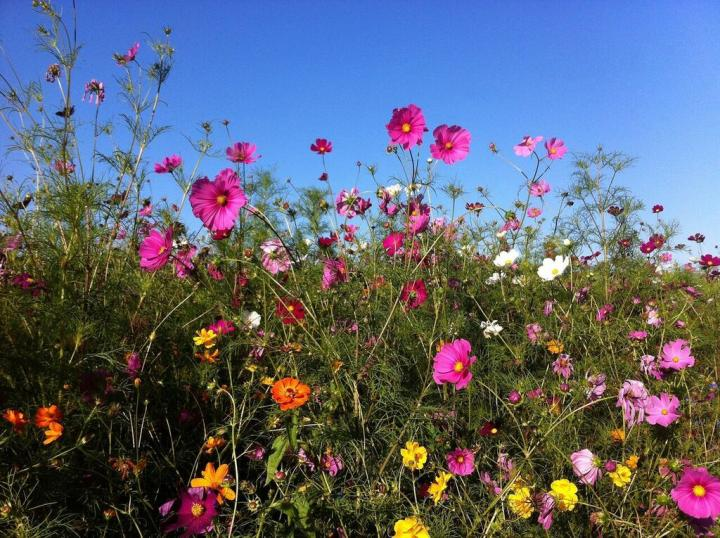 Cosmos: How to Plant, Grow, and Care for Cosmos Flowers
