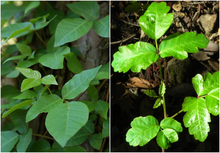 Poison Oak: Identification and Rash Treatment | The Old