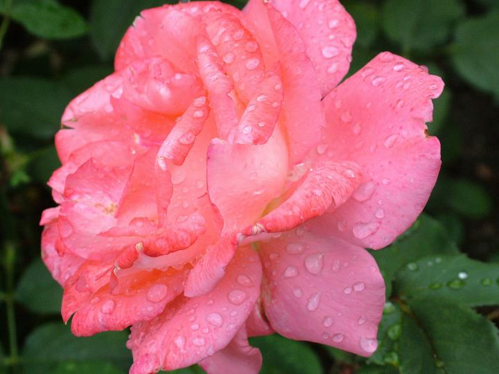 Rose, June Birth Flower, The Old Farmer's Almanac