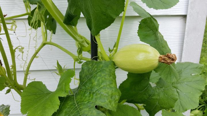 Spaghetti squash growing on a vine.