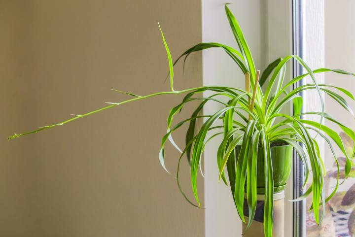 Spider Plants: How to Grow and Care for Spider Plants | The