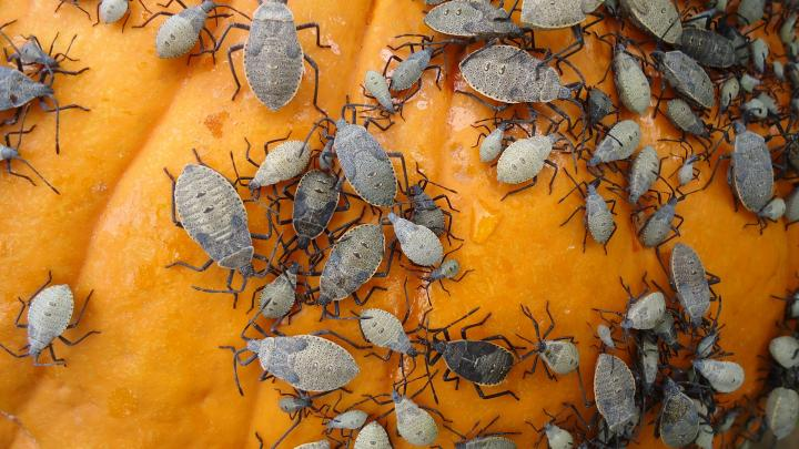 Squash Bugs: How to Identify and Get Rid of Squash Bugs