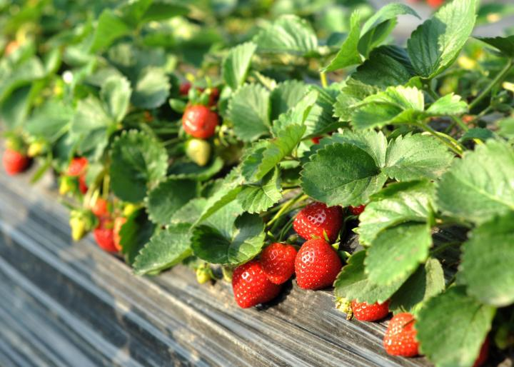 Strawberry Bed Photo By Ben Shuchunke Getty Images