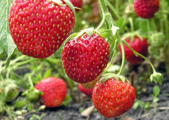 Strawberries. Photo by Yuriy S./Getty Images