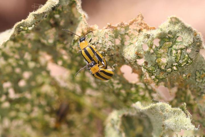 Striped cucumber beetles. Photo by Whitney Cranshaw, Colorado State University.