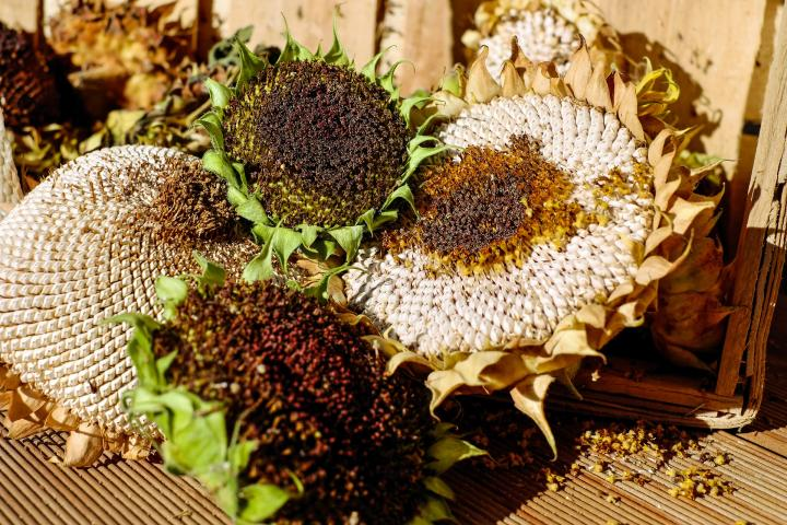 Dried sunflower heads