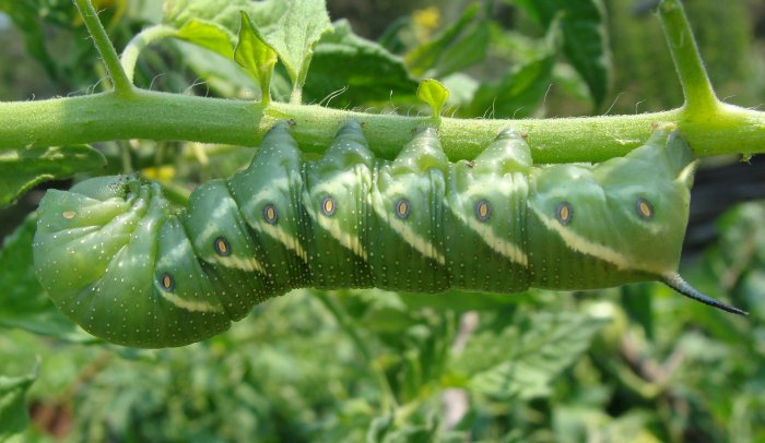 Tomato Hornworm. Photo by Amanda Hill.