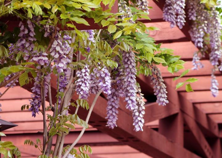 When Your Wisteria Won T Bloom